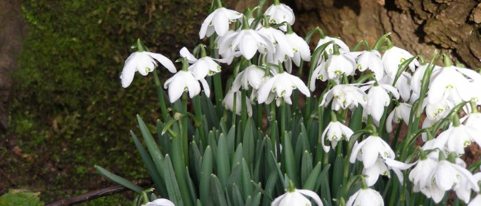 Snowdrops grow everywhere around Rough Acre bed and breakfast and workshops in Herefordshire